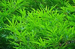 Fresh vivid green leaves of bamboo tree. In sunlight close up Stock Image