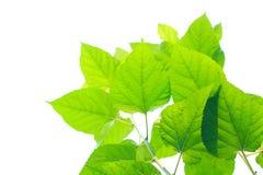 Fresh vivid green leaves Stock Photos
