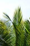 Fresh green leaves of palm tree. Fresh vivid green leaves of palm tree on white background Stock Photos