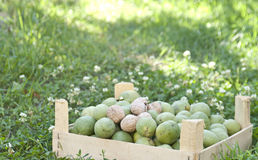 Fresh walnuts in a garden Royalty Free Stock Image