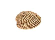 Fresh Warty venus clam - Fasolara venus verrucosa shell isolat Stock Photos