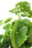 Fresh wasabi leaves with blossoms Stock Image