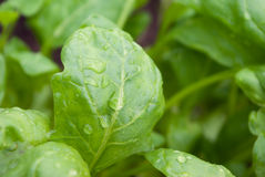 Fresh washed baby spinach stock photography