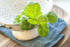Fresh washed basil in a colander. Fresh washed basil  in a colander on a blue fabric. Selective focus Royalty Free Stock Photos