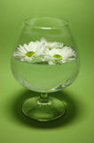 Fresh Water. White daisies floating in a glass of fresh water with a green background Royalty Free Stock Photos