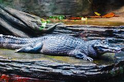 A fresh water alligator resting on the riverside Stock Images