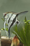 Fresh water Angel fish - Pterophyllum scalare. Close up Stock Images