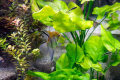 Fresh water angelfish & x28;Pterophyllum scalare& x29; Stock Photos