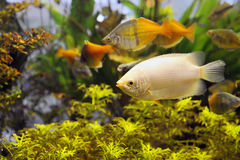 Fresh-water Aquarium stock image