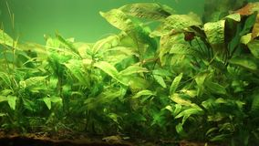 Fresh water aquarium stock footage