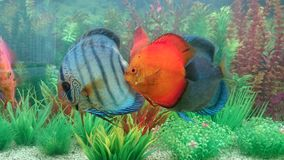 Fresh water aquarium with discus fish Royalty Free Stock Photos