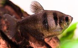 Fresh water aquarium fish: Gymnocorymbus ternetzi Royalty Free Stock Photography