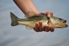 Fresh Water bass Stock Photos