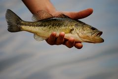 Freshwater bass. A freshwater bass caught while fishing Royalty Free Stock Photo