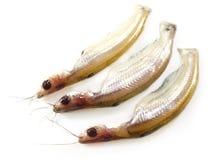 Fresh water Batshi fish Royalty Free Stock Images