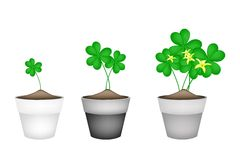 Fresh Water Clover Plant in Ceramic Flower Pots Royalty Free Stock Photography