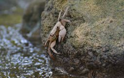 Fresh Water Crab on Stone Stock Photography