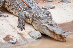 A fresh water crocodile. On land stock photos