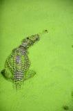 Fresh water crocodile. Stock Photos