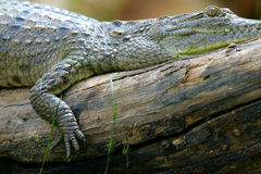 Fresh Water Crocodile Royalty Free Stock Images