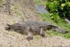 Fresh water crocodile Royalty Free Stock Image