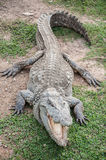 A fresh water crocodile on land Stock Images