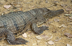 Fresh water crocodile Royalty Free Stock Image