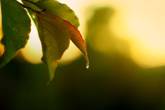 Fresh water drop, nature dew on green leaf Stock Photography