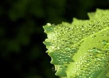 Fresh water drops on green leaf Royalty Free Stock Image