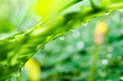 Fresh water drops and leaf in green nature Royalty Free Stock Photography