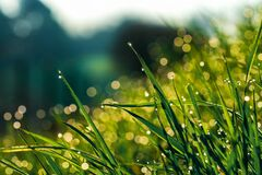 Free Fresh Water Drops Of Morning Dew On Blades Of Grass On A Lush Meadow Backlit By Morning Sun. Concept Of Purity, Freshness Stock Photography - 176382402