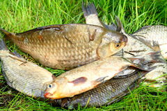 Fresh water fish. Crucian carp, which lies on the green grass Royalty Free Stock Images