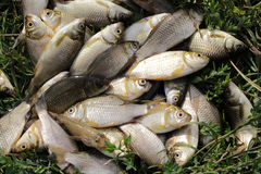 Fresh water fish carp lying in the grass. A lot of Fresh water fish carp lying in the grass Stock Photo