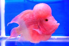 Fresh water Fish Cichlidae Royalty Free Stock Image