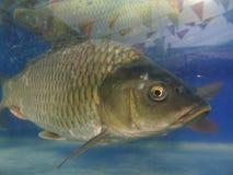 Fresh water fish(cyprinoid). In the pool,Carp freshwater aquaculture Stock Image