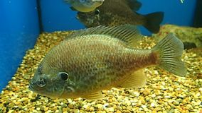 Fresh water fish. A fresh water fish swimming a little stock footage