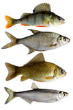 Fresh-water fish Royalty Free Stock Photos