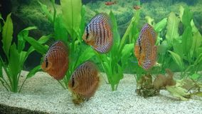 Discus fish aquarium Royalty Free Stock Image