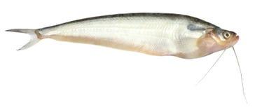 Fresh water Pabda fish of Southeast Asia Stock Photo