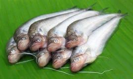 Fresh water Pabda fish Stock Image