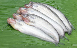Fresh water Pabda fish of Southeast Asia Stock Photography