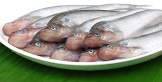 Fresh water Pabda fish Royalty Free Stock Photo