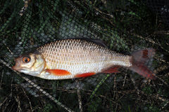 Fresh water Rudd in landing net. Fresh water Rudd in landing net caught by angler in commercial fishing lake and returned alive Stock Photography