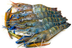 Fresh water Shrimps Stock Image