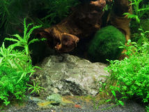 Fresh water shrimps. Underwater scenery including some fresh water shrimps Stock Images