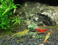Fresh water shrimps. Underwater scenery including some fresh water shrimps stock photos