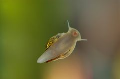 Fresh-water snail stock images