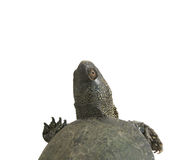 Fresh-water turtle Stock Photography