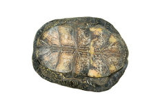 Fresh-water turtle Royalty Free Stock Photo
