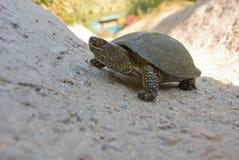 Fresh-water turtle Stock Image